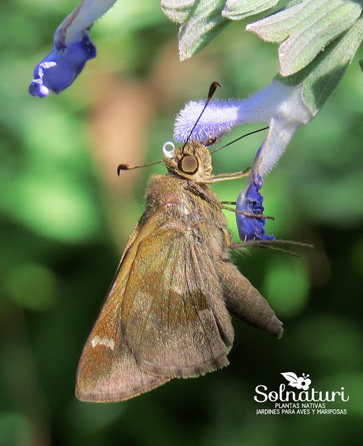 Mariposa Cymaenes odilia odilia  Hierbera común