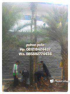 Kami tukang Taman menjual pohon pule dengan berbagai ukuran mulai dari Batang kecil hingga Batang besar dengan harga murah namun tetap berkualitas, bergaransi dan pekerja yang berpengalaman