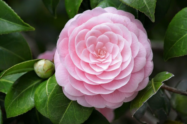 hoa trà mi hồng đẹp nhất