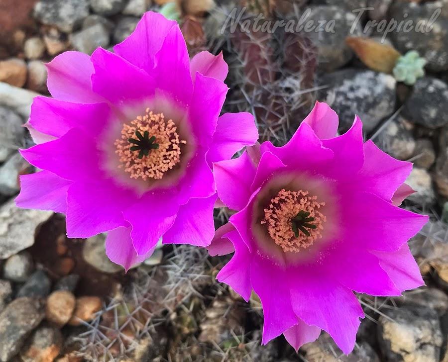 Flores del cactus Echinocereus pentalophus