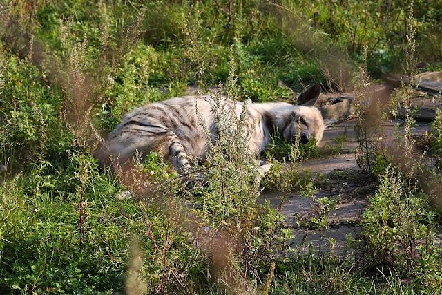 гиена, зоопарк в Клайпеде, Клайпедский зоопарк