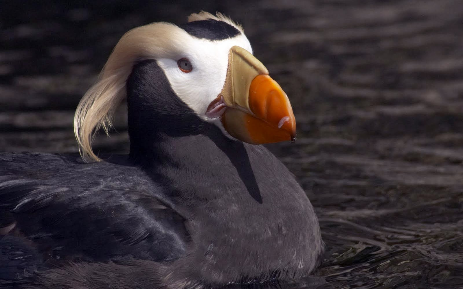 3d Heart Wallpaper Backgrounds Wallpapers Tufted Puffin Wallpapers