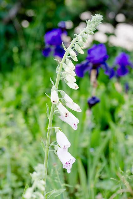 Impressionen aus dem Rosengarten, Pomponetti, Fingerhut