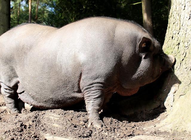 Hängebauchschwein Wildpark