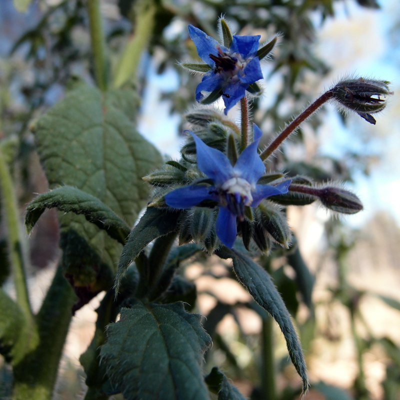 eight acres: how to grow and use borage