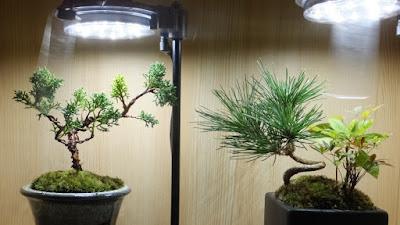 真柏と黒松の盆栽