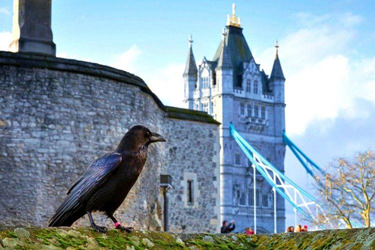 Kraliyet inancı gereği Londra Kulesi'nde minimum 6 adet kuzgun bulundurulması şarttır.