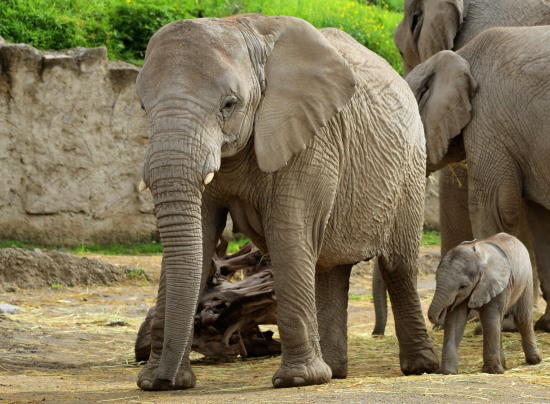 Nace elefante africano en Puebla