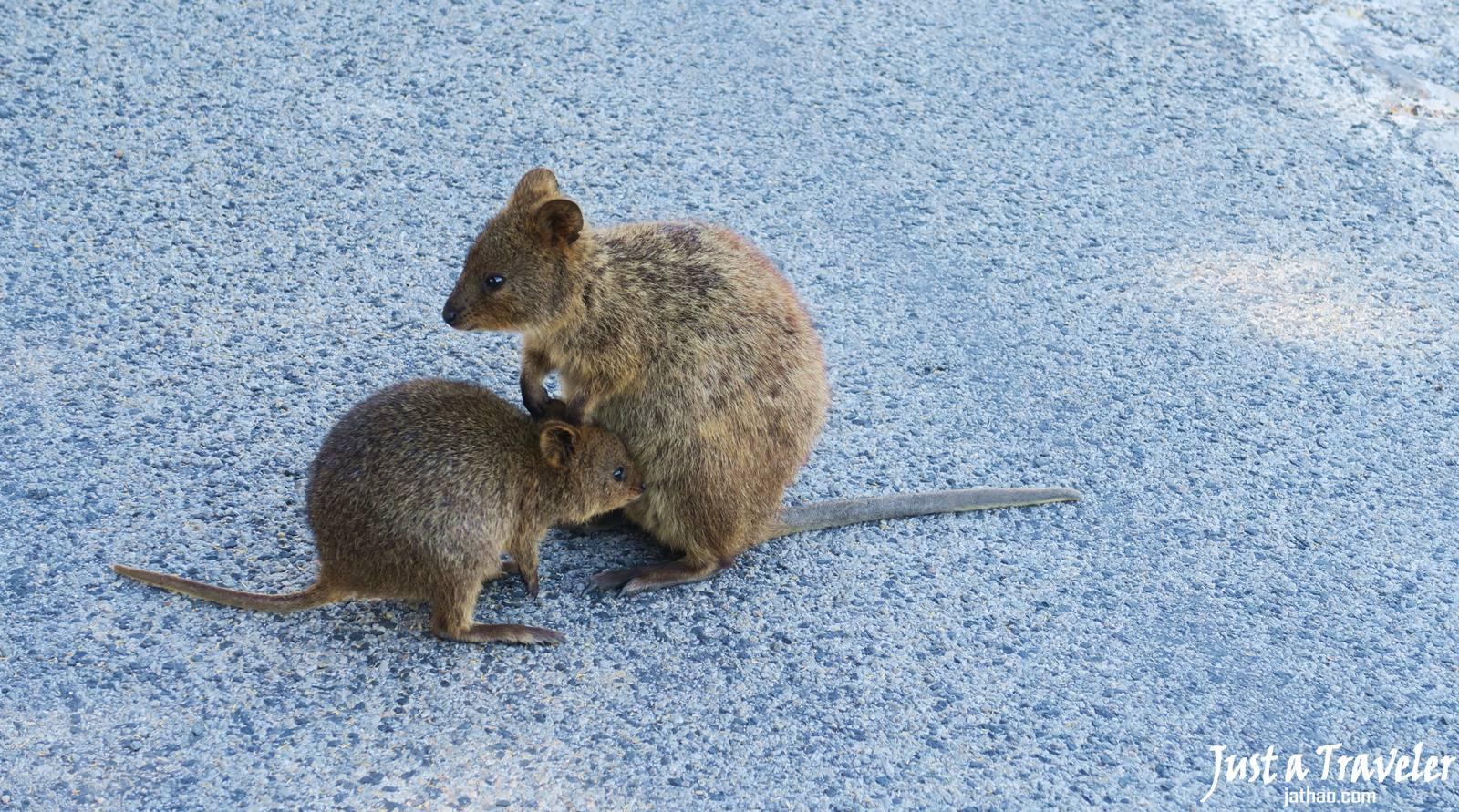 澳洲-西澳-伯斯-景點-羅特尼斯島-Rottnest Island-小袋鼠-推薦-自由行-交通-旅遊-遊記-攻略-行程-一日遊-二日遊-必玩-必遊-Perth