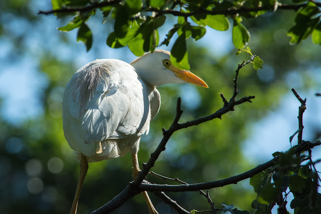 Cattle Egret, UT Southwestern Medical Center Rookery