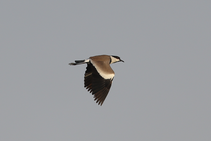 Largest every flock of Spur-winged Lapwing in Saudi Arabia – Haradh