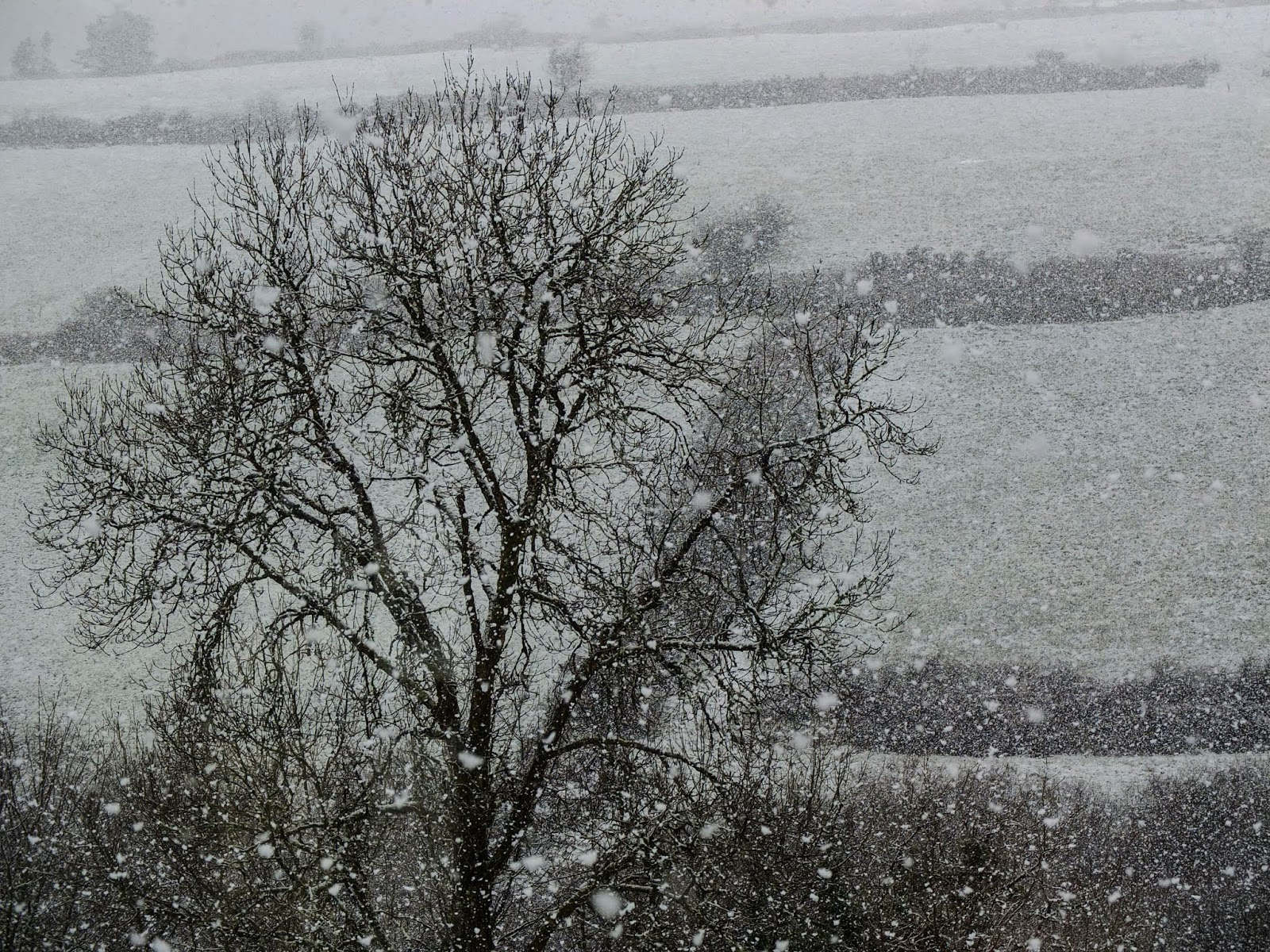 Snow flakes and a bare Ash tree in a valley in North County Cork.