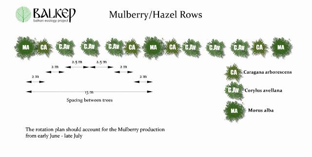 Mulberry-HazelRows.jpg