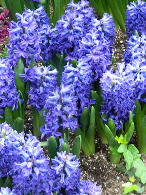 Blue hyacinths at Centennial Park Conservatory Spring Flower Show 2017 by garden muses-not another Toronto gardening blog