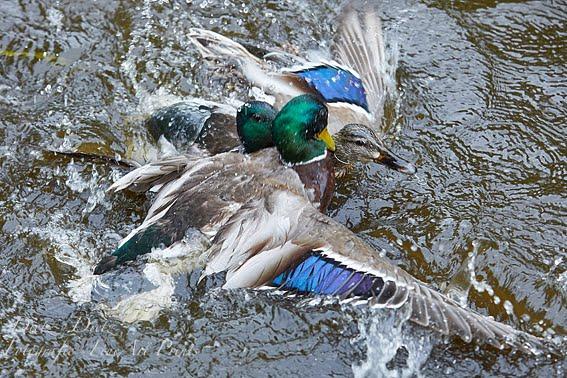 Stockenten beim Kampf im Teich