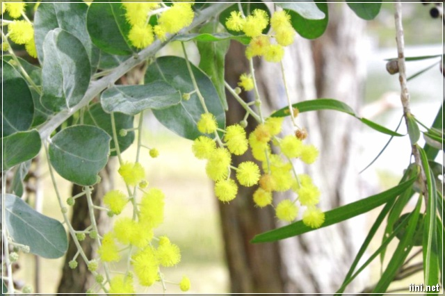 Mimosa Đà Lạt