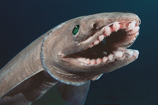 frilled shark, deep sea shark