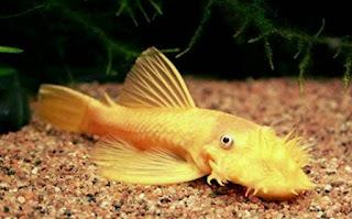 Jenis ikan sapu - sapu pleco pemakan lumut