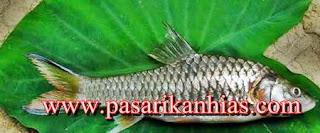Harga Ikan Semah Kapuas Di Pasaran