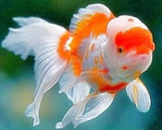 Gambar Ikan Mas Koki Oranda