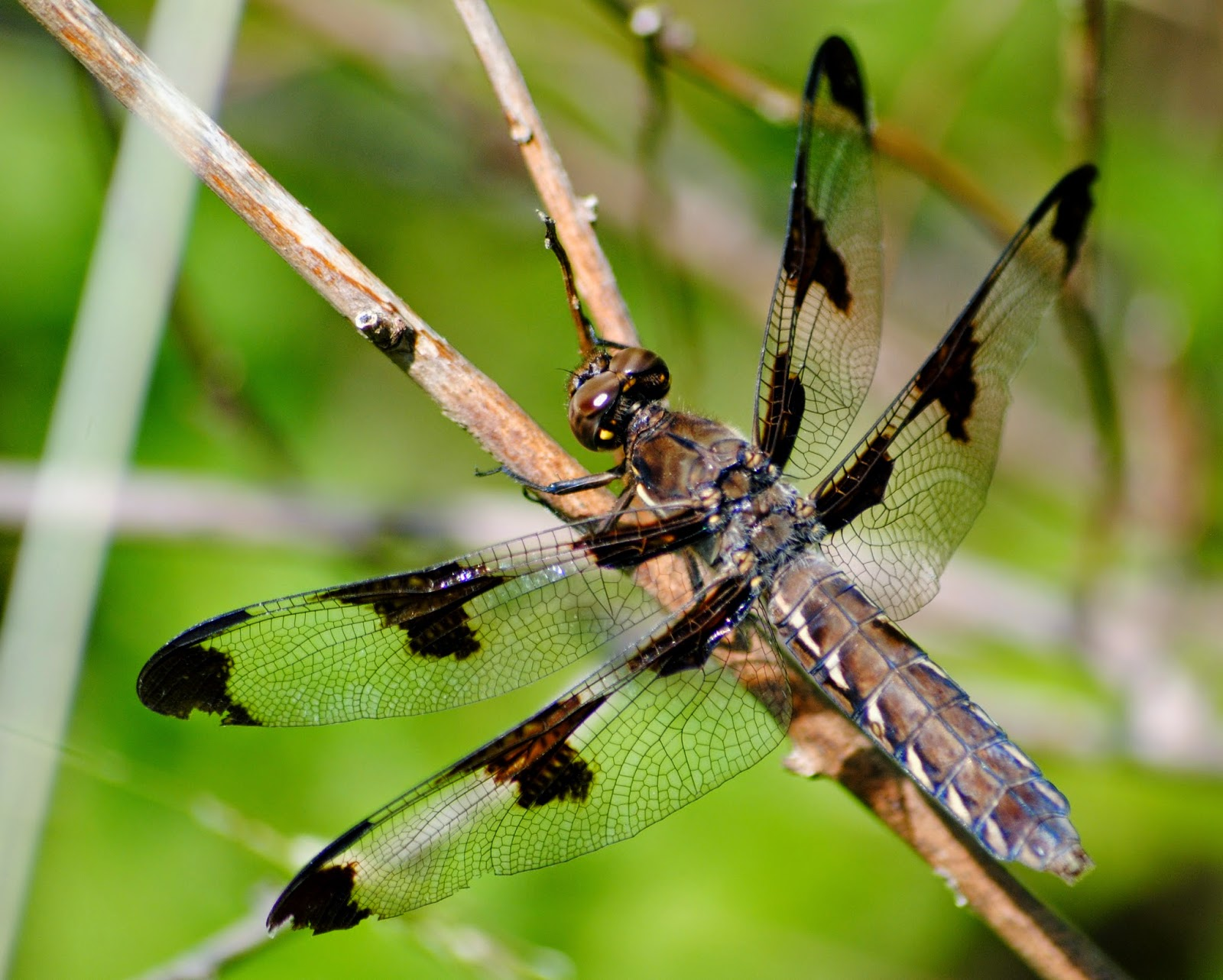Hummingbird+moth+119
