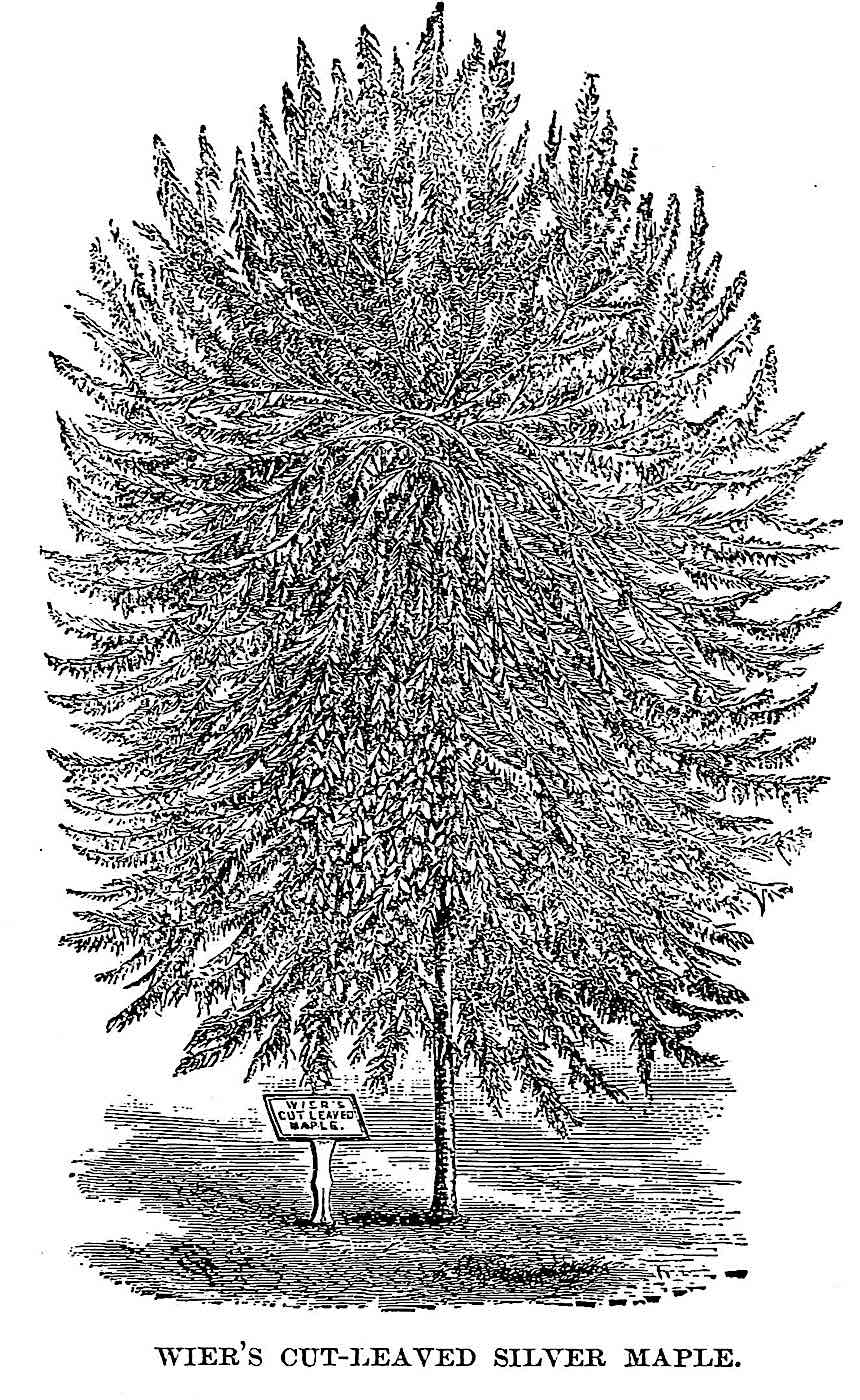 1888 silver maple tree illustration