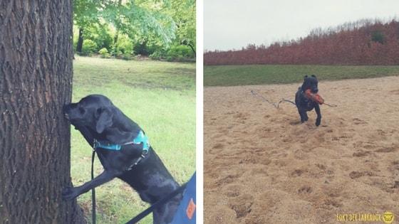 Schwarzer Labrador mit Dummy beim Suchen