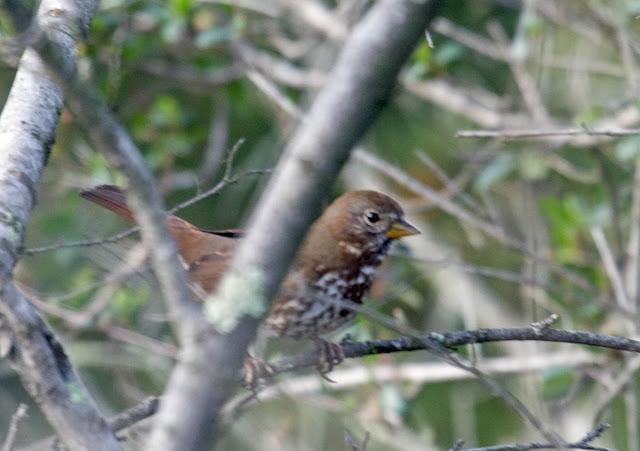 Sooty Fox Sparrow -- unalaschcensis subspecies