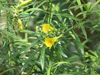 Oléandre jaune - Thevetia peruviana - Thévétia du Pérou