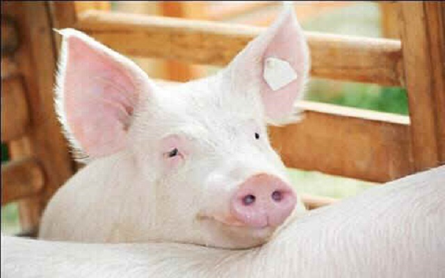 18-year-old boy caught having sex with pig in Brong Ahafo Region
