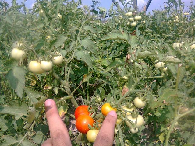 Memetik Buah Tomat Harus Berhati-Hati