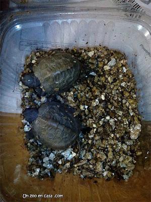 Crías de Glyptemys insculpta acabadas de nacer