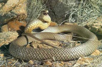 A segunda entre as cobras mais venenosas seria a cobra Marrom