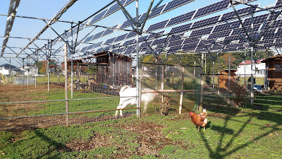 Free range chickens and goats. Solar sharing farm in Tsukuba, Japan.