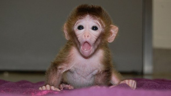Chimera Monkeys created from multiple Embryos - 27 Science Fictions That Became Science Facts in 2012