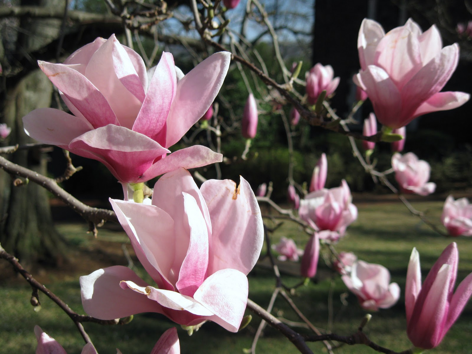 Elegant Saucer Magnolia Tree Picture