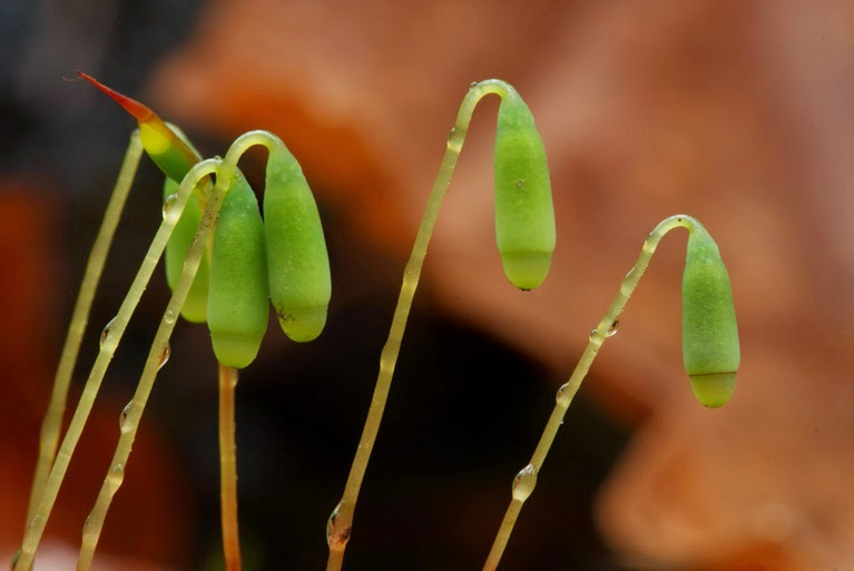 a macro close-up photo of moss sporophytes