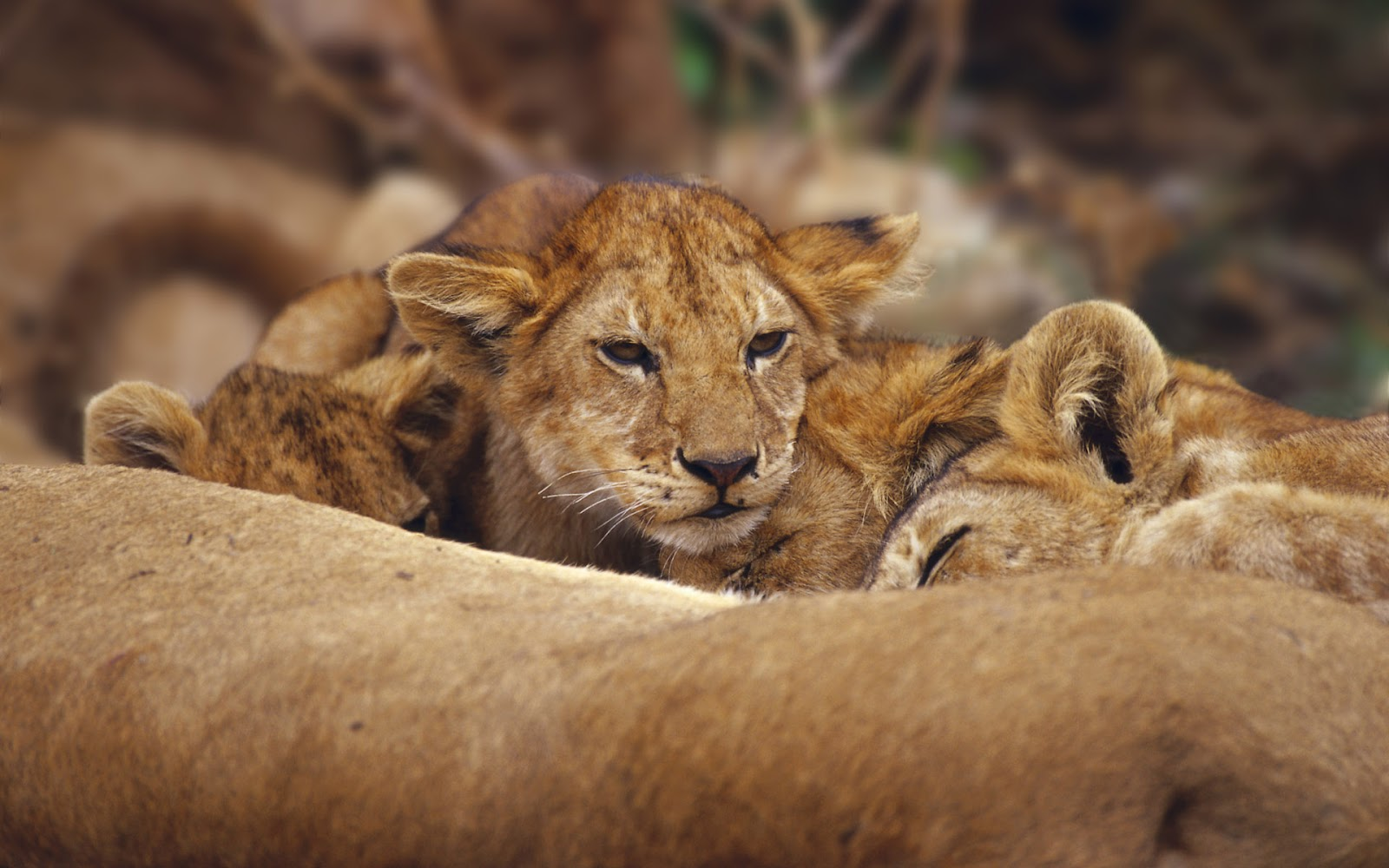 Cute Sleeping Baby Wallpapers Afrika Wilde Dieren Achtergronden Hd Wallpapers
