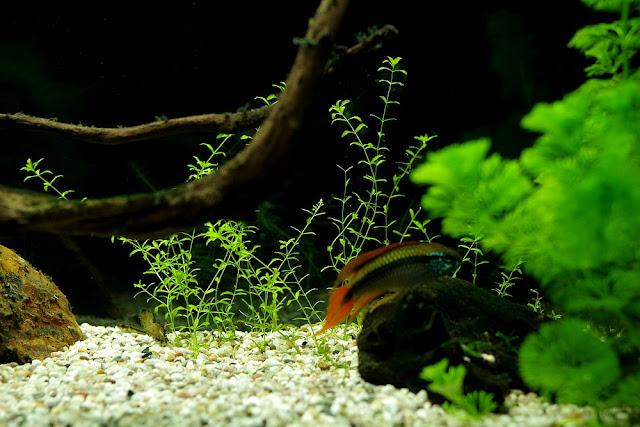 restart Hemianthus micranthemoides