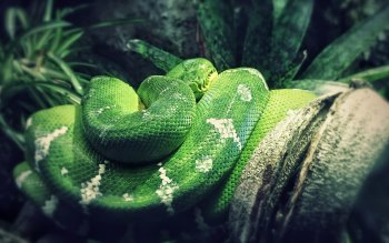 Wallpaper: Green Python