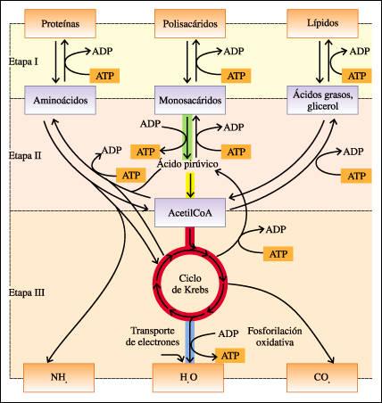 I- Cuestionario reflexivo (Introducción al Metabolismo) Resumen+metabolismo
