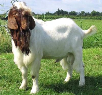 boer goat, meat goats, meat goat breeds