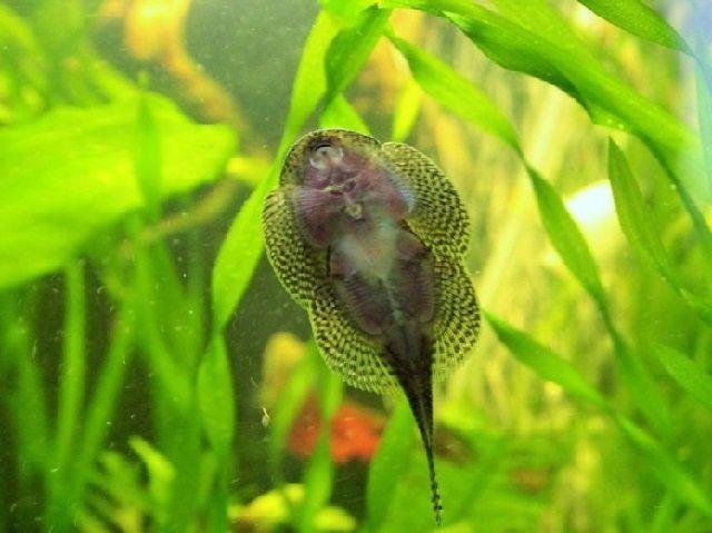Bibit Ikan Gurami
