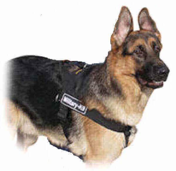 Chondrodysplasia, German Shepherd, Dog chondrodysplastic dog breeds dwarfism in german shepherd dogs chondrodysplasia in havanese chondrodysplasia in poodles fgf4 retrogene chondrodysplasia in beagles gigantism in dogs pituitary dwarfism in dogs