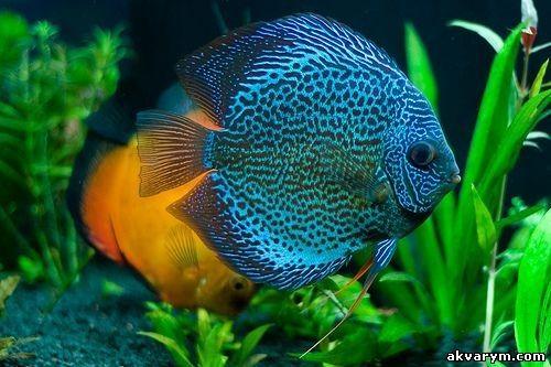 jual indukan ikan discus