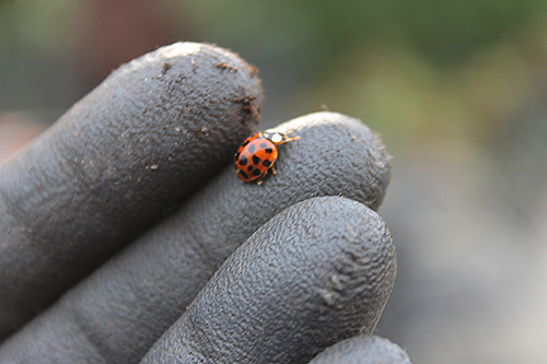 Ladybug climbing up my gloved finger