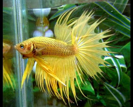 Yellow And Black Betta Fish