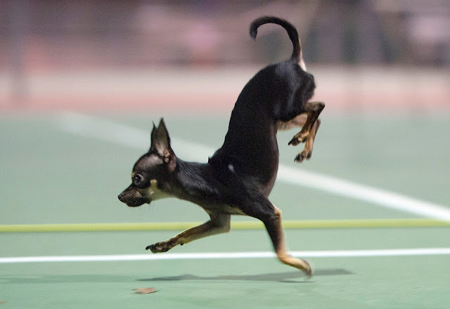 World's Fastest Dog which covers 5 meters on Front Paws