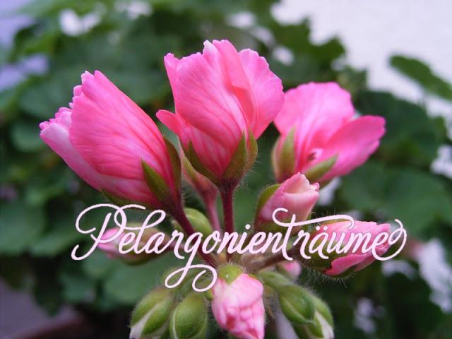 Tulpenpelargonien-Marie-Louise-Pelargonienträume
