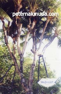 mantap, inilah Pohon Kelapa dengan Cabang Terbanyak (41 Cabang)